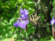 12 Blue Flag Iris Plants - for the pond or garden