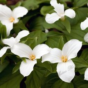 12 White Trillium Plants