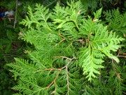 20 Eastern White Cedar Trees