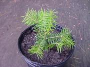 20 Eastern Hemlock Trees