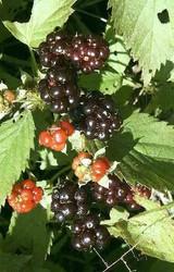 12 Wild Black Raspberry Plants
