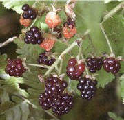 12 Dewberry Bushes
