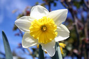 18 White and Yellow Daffodils